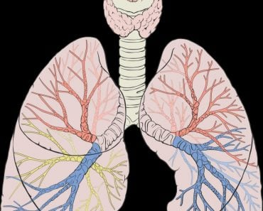 Lungs with capillaries