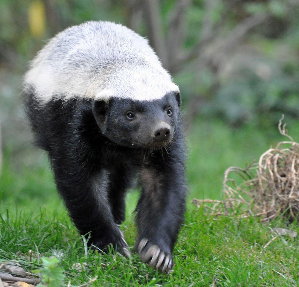 the stink badger