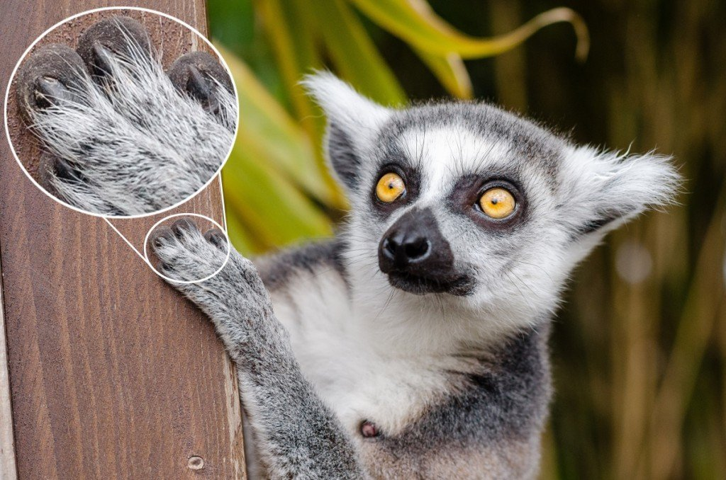 Lemur Fingernails