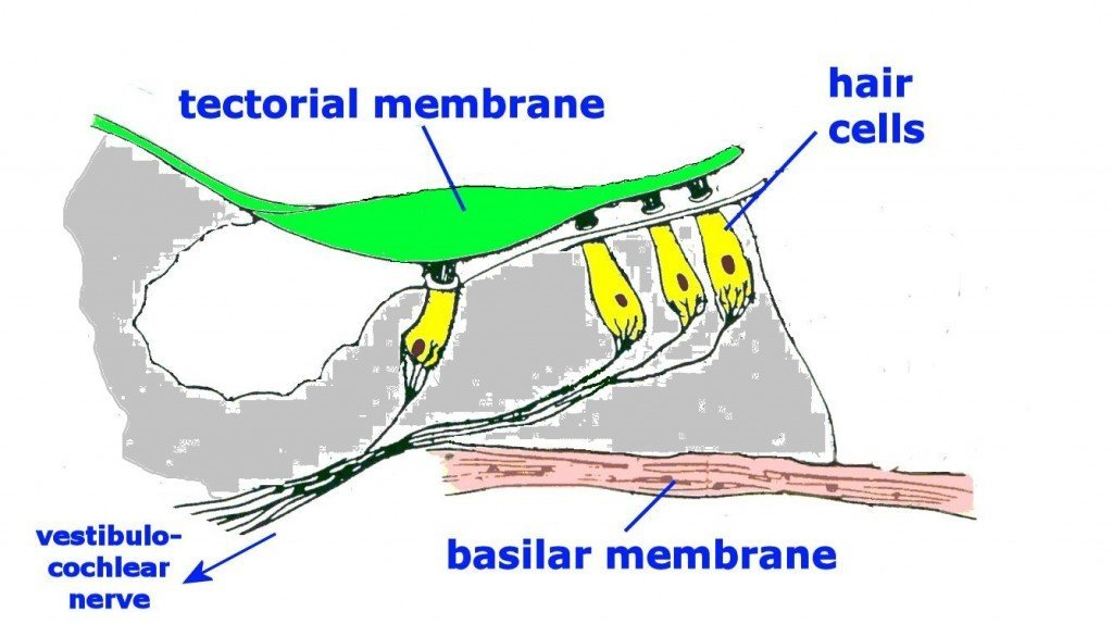 Ear Diagram Sensory Hair Cells