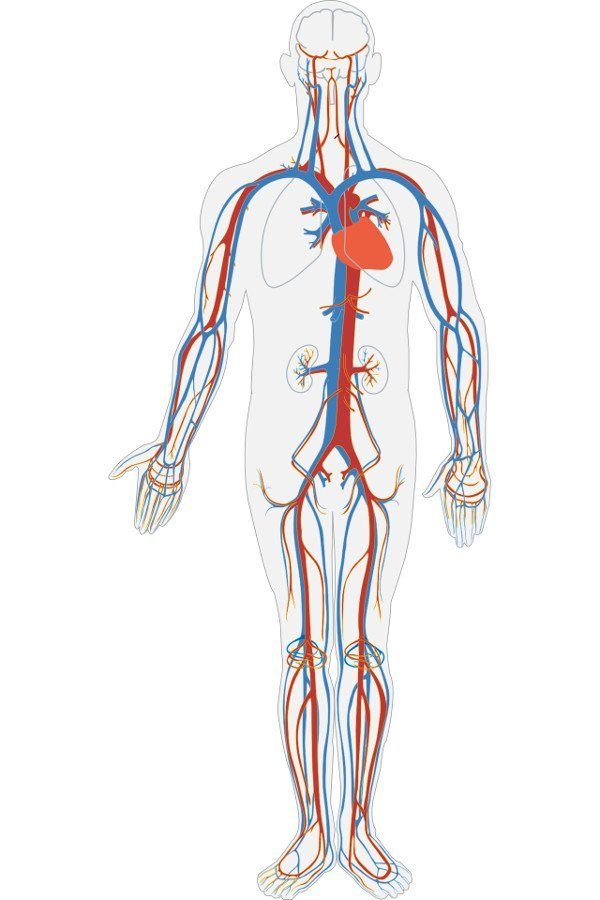 Diagram Of Veins And Arteries In Body
