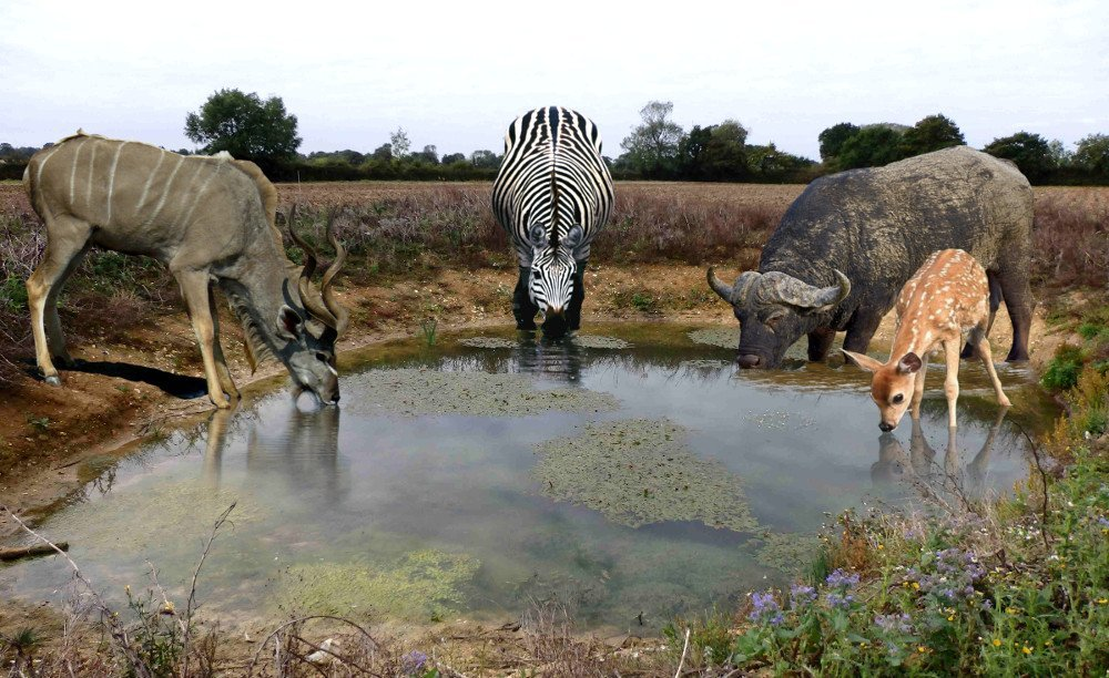How can wild animals drink water from dirty ponds and for Pond animals