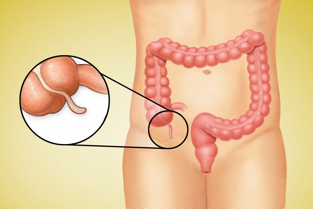 What Does The Appendix Do? » Science ABC