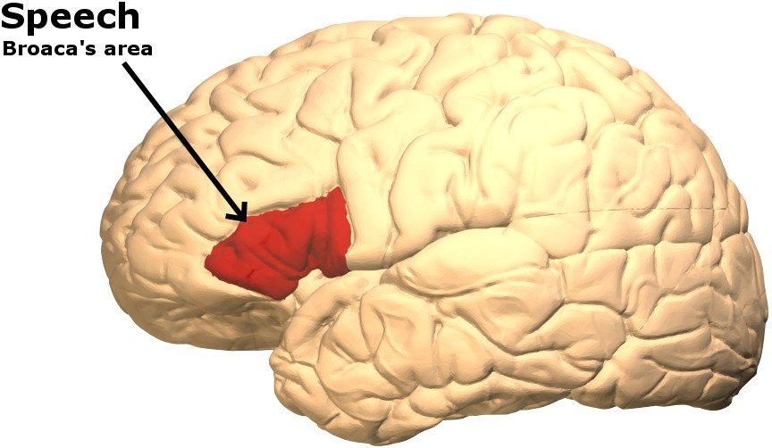Broaca area in human brain