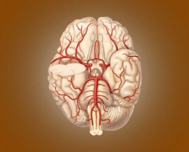 Circle Of Willis: Anatomy, Diagram And Functions