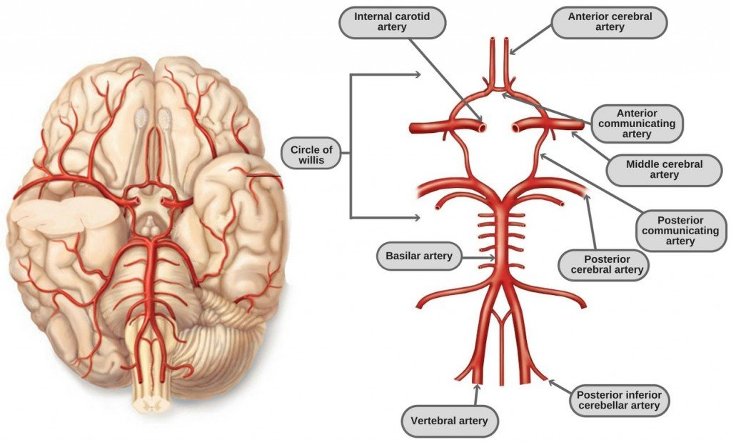 Circle Of Willis Anatomy Diagram And Functions Science Abc