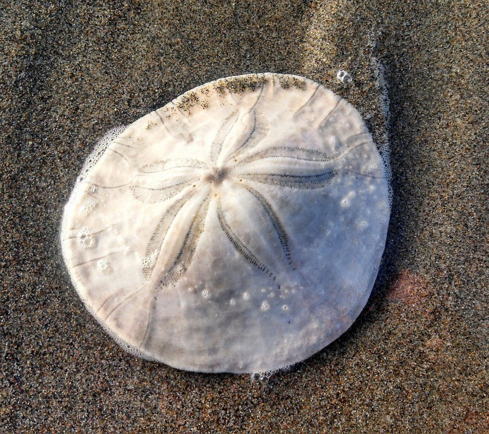 What Are Sand Dollars? » Science ABC