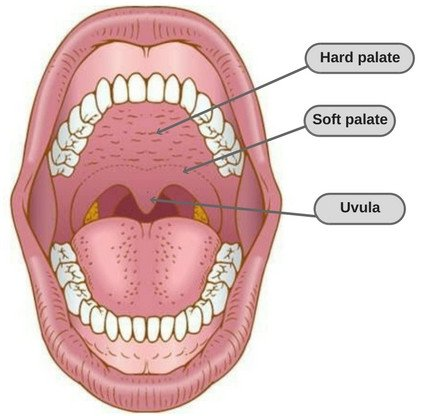 Uvula diagram