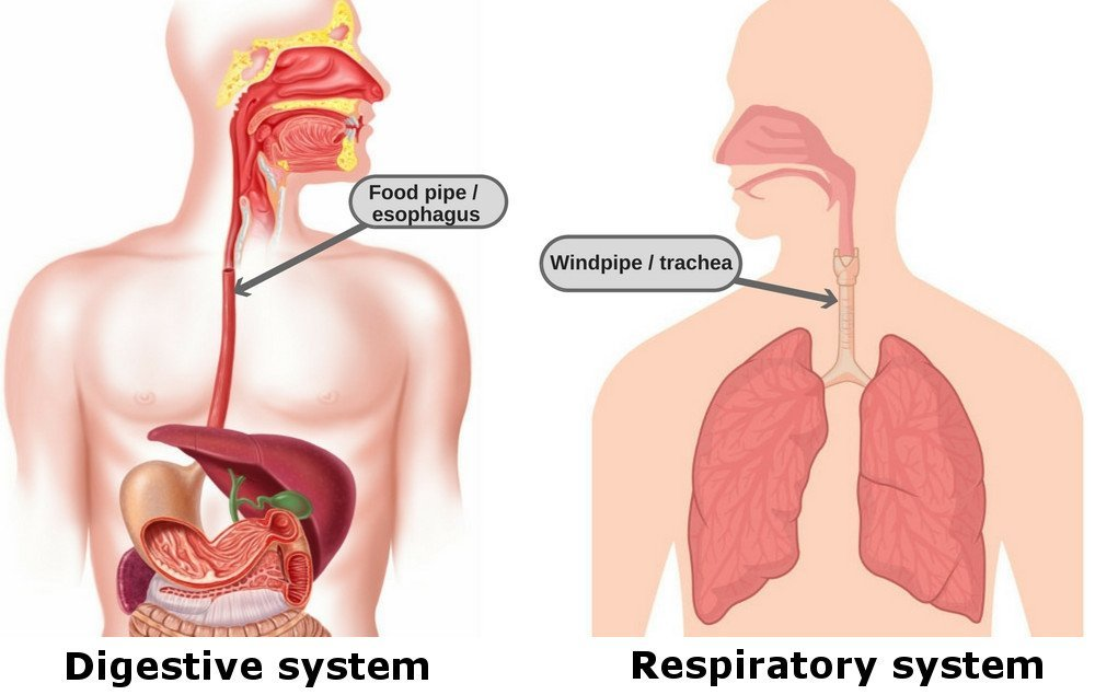 as you can clearly see in these two pictures, the food pipe (esophagus) and  the windpipe (trachea) are located quite close – practically next to each  other
