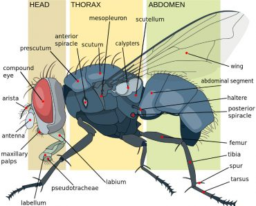 Housefly anatomy key diagram