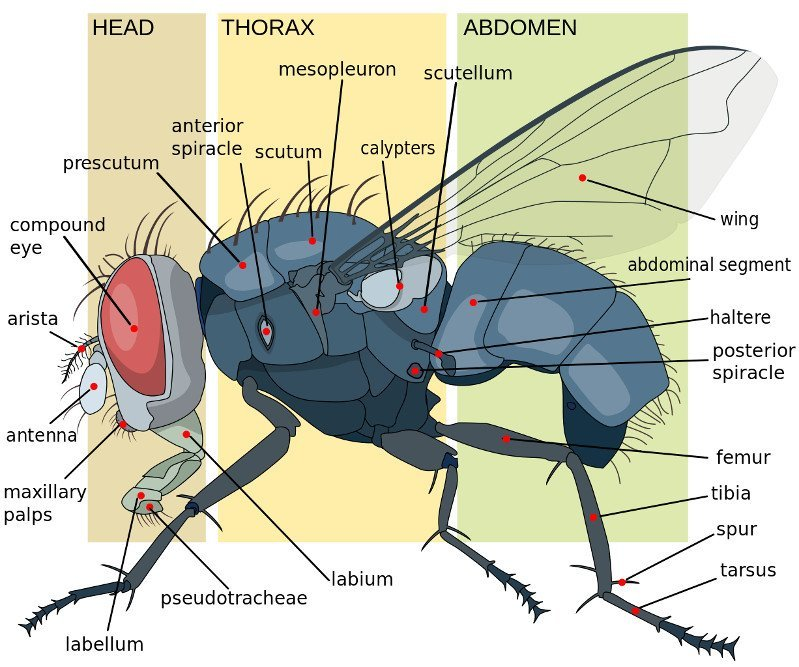 How do flies fly into hard surfaces and not get hurt science abc housefly anatomy key diagram ccuart Gallery