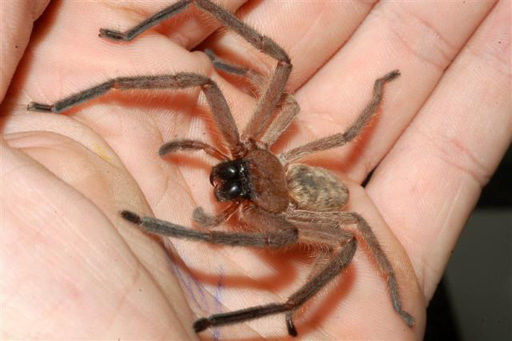 Giant Huntsman Spider: How Big Is It? Does It Bite?