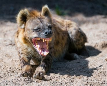 Hyena laughing