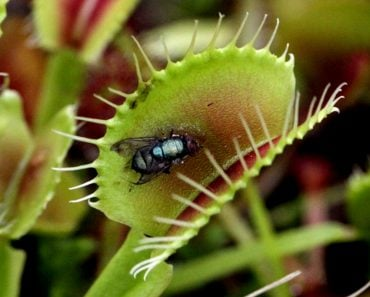 Venus fly trap plant eating fly
