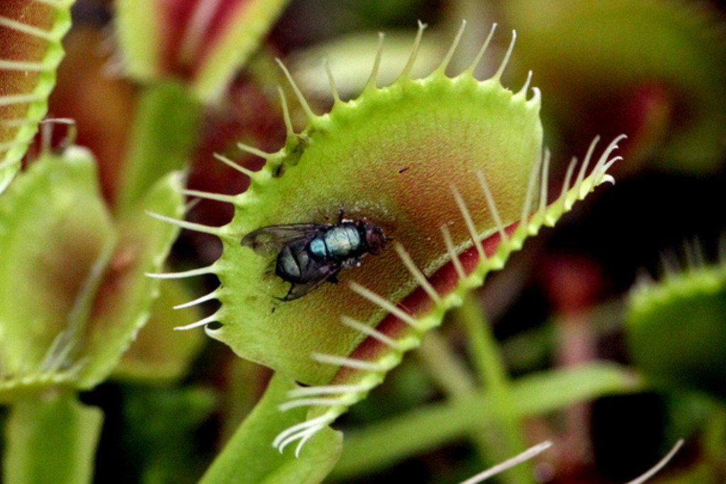 What Do Venus Flower Baskets Eat : Why are some plants carnivorous ? science abc