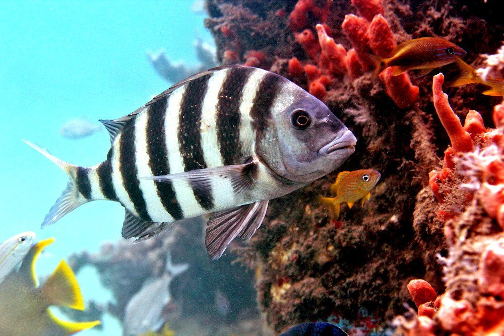 Sheepshead fish facts about the fish with human teeth for Sheepshead fish eating