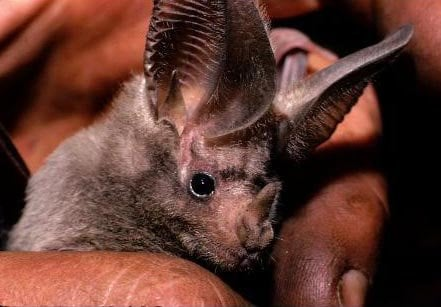 California leaf nosed bat