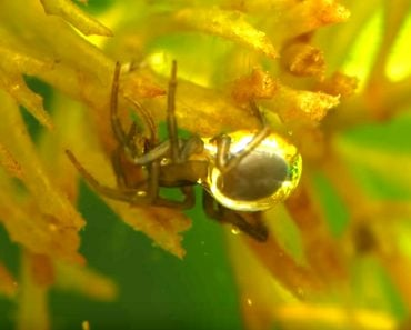 Diving bell spider