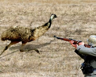 What Was The Emu War Of Australia And What Was The Outcome?