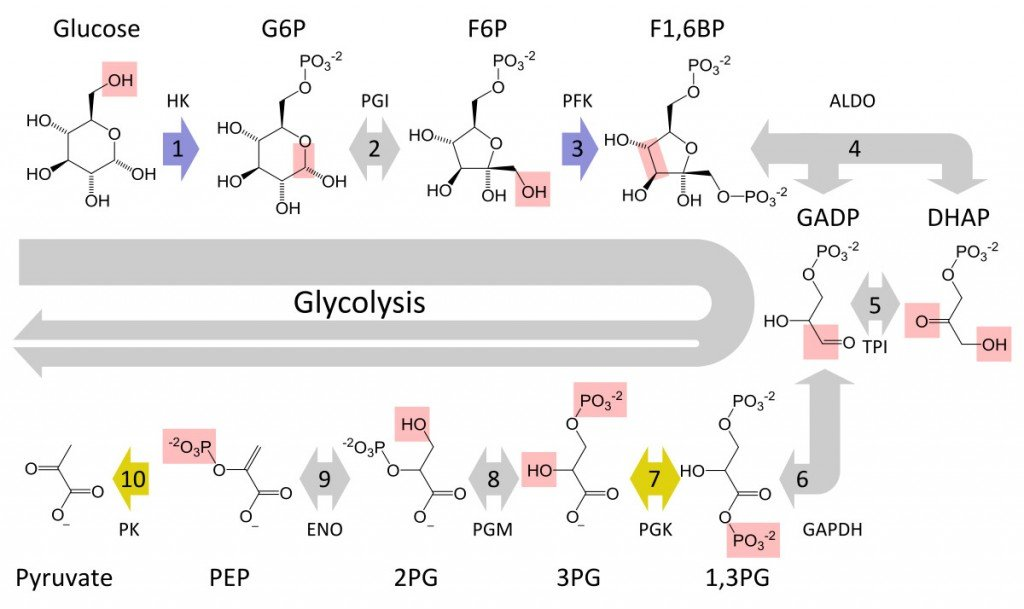 Glycolysis metabolic pathway 3 annotated