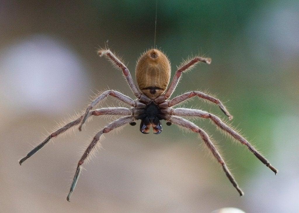 Giant Huntsman Spider: How Big Is It? Does It Bite?