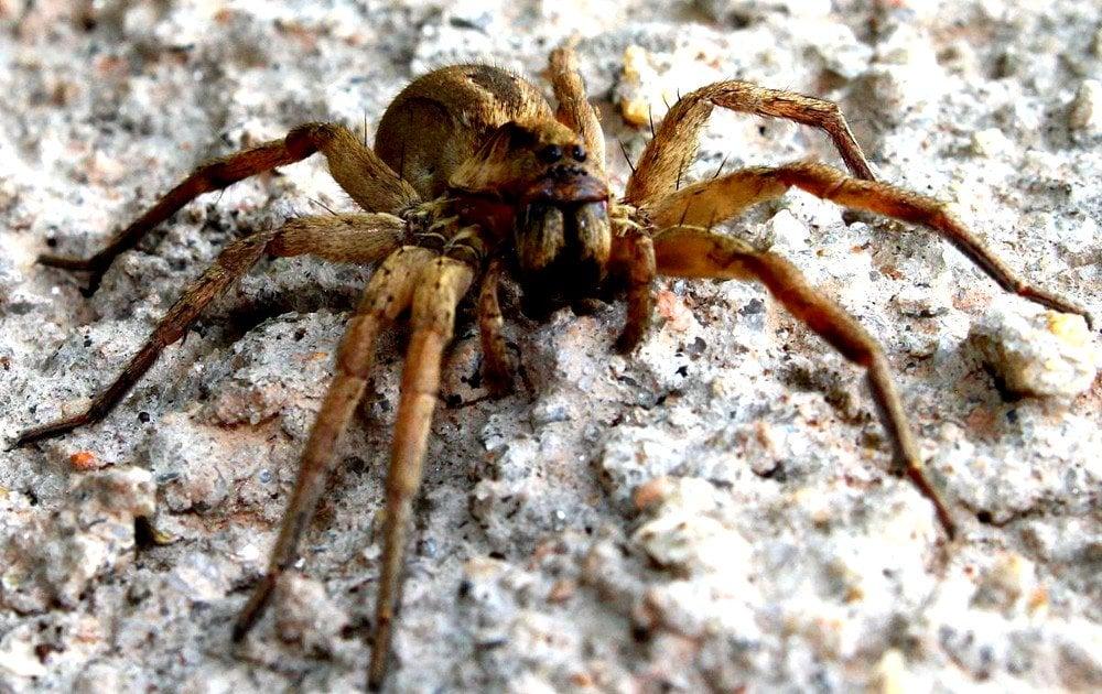 Phoneutria Bahiensis A Species Of Brazilian Wandering Spider