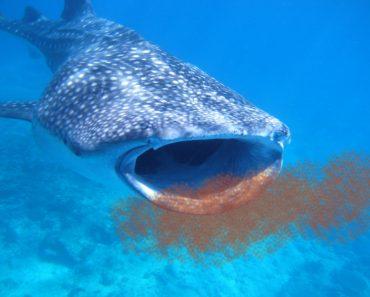 Shark eating krills
