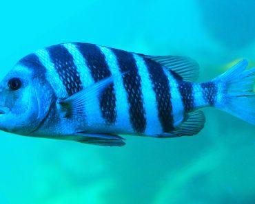 Sheephead Fish Archosargus probatocephalus