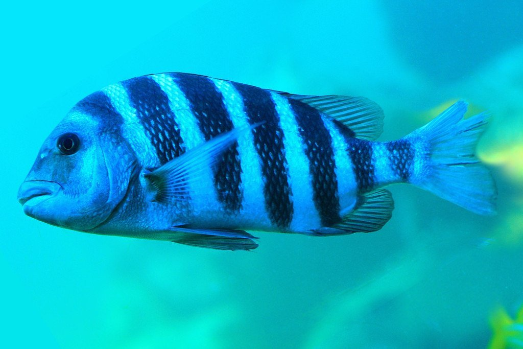 Sheepshead fish facts about the fish with human teeth for Information about fish