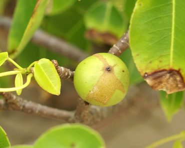 manchineel tree fuit
