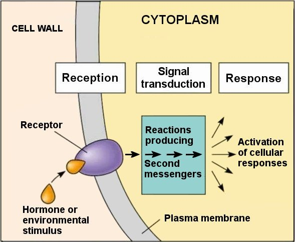 what is cytosol? how is it different from cytoplasm? science abc  diagram of cytosol #13