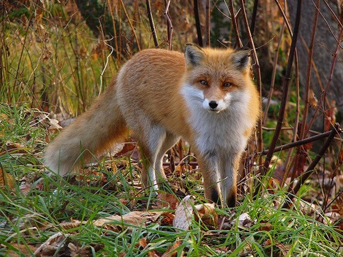 Deadly red fox