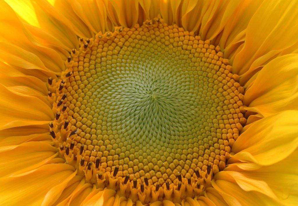 Tournesol Sunflower golden ratio Fibonacci
