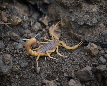 scorpion - Indian red scorpion - Hottentotta tamulus