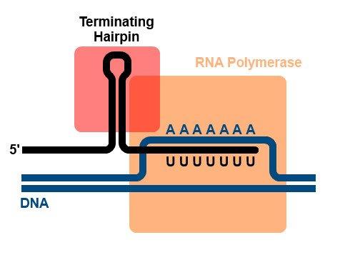 Prokaryotic Intrinsic Termination