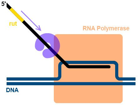 Rho-dependent terminator