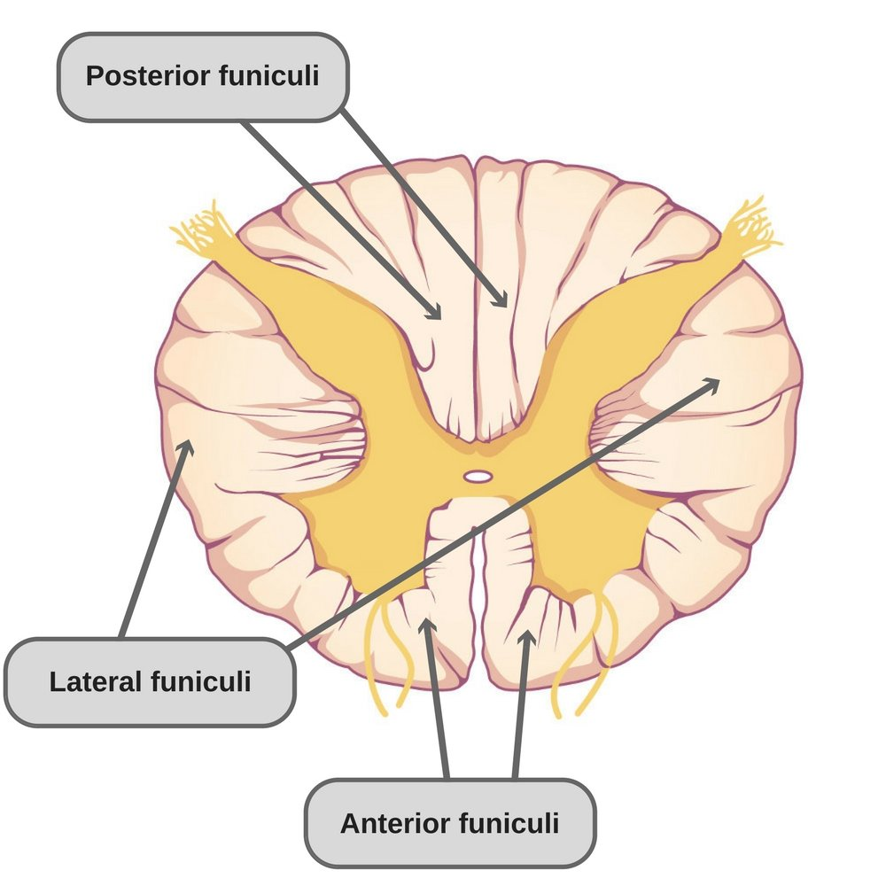What Is The Spinal Cord What Is Its Anatomy And Function
