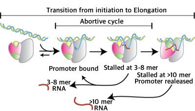 T7 RNA polymerase abortive initiation cycle Promoter Escape