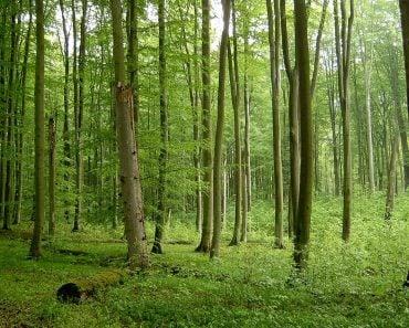 Beech forest in Źródliskowa Buczyna reserve near Szczecin