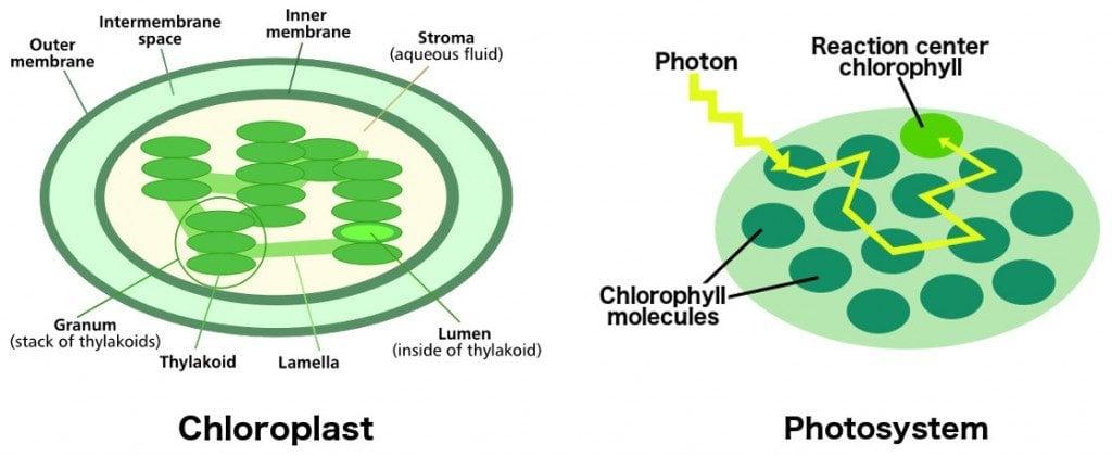 Chloroplast Photosystem