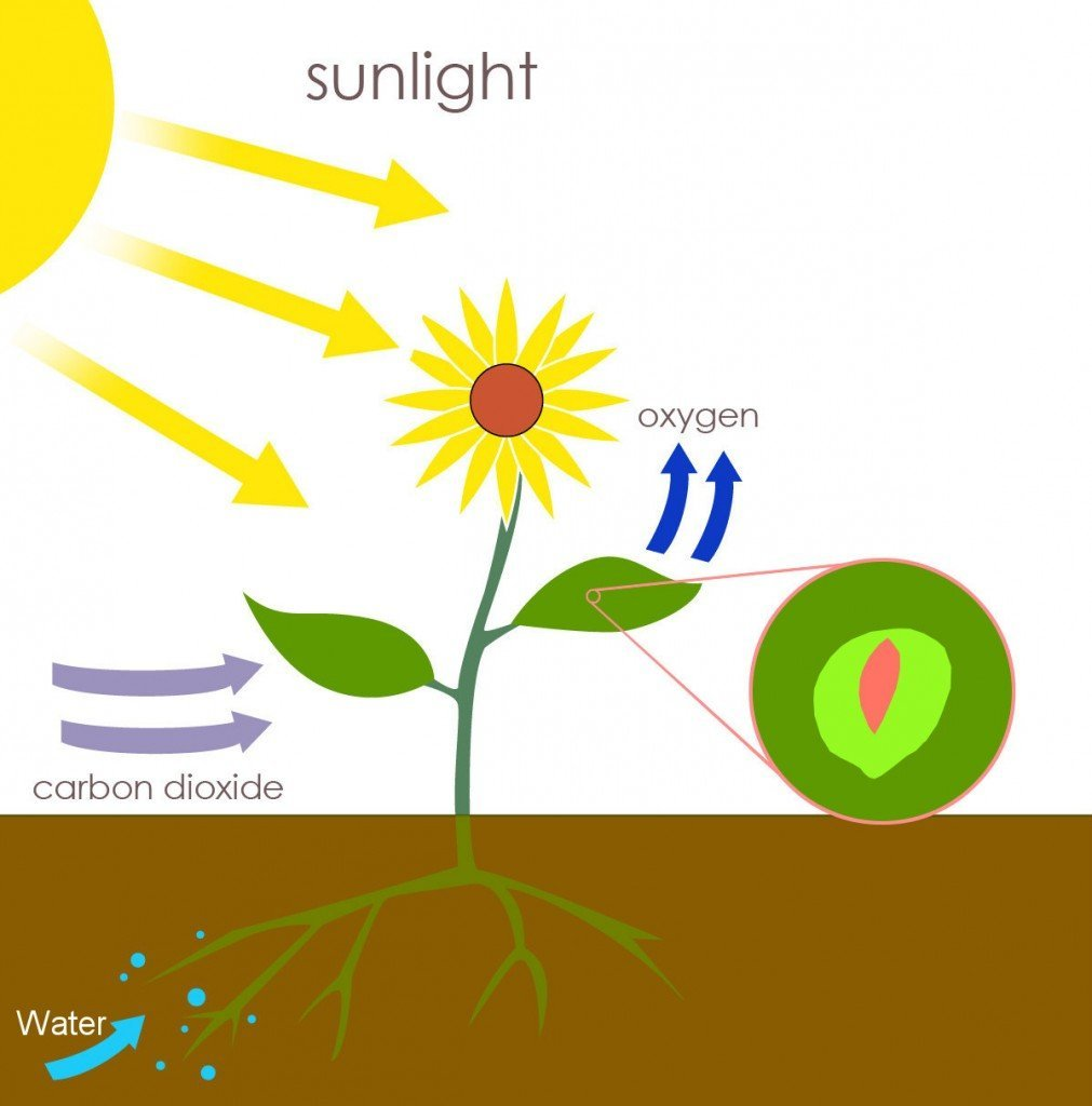 Schematic of photosynthesis in plants. The carbohydrates produced are stored in or used by the plant with stomata.