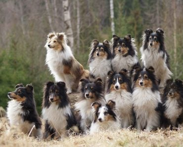 Sheltie group of dogs