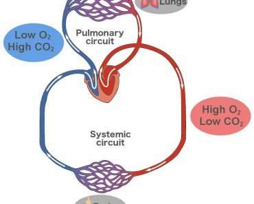 Double circuit pulmonary & systemic Circulation of blood