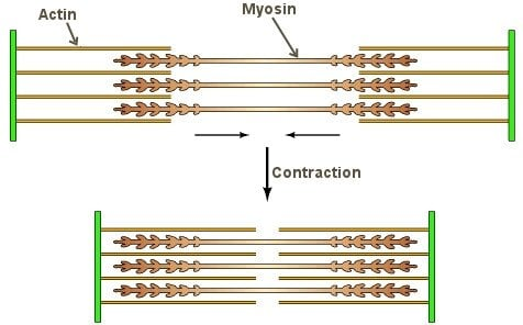 Muscle contraction and relaxation