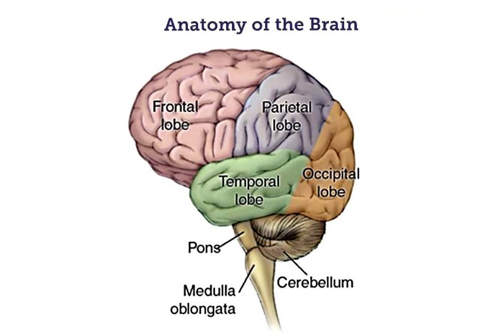 Medulla Oblongata Definition Structure And Functions