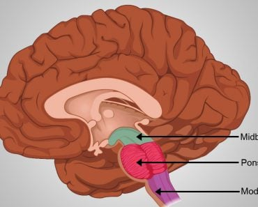 Internal anatomy of the medulla