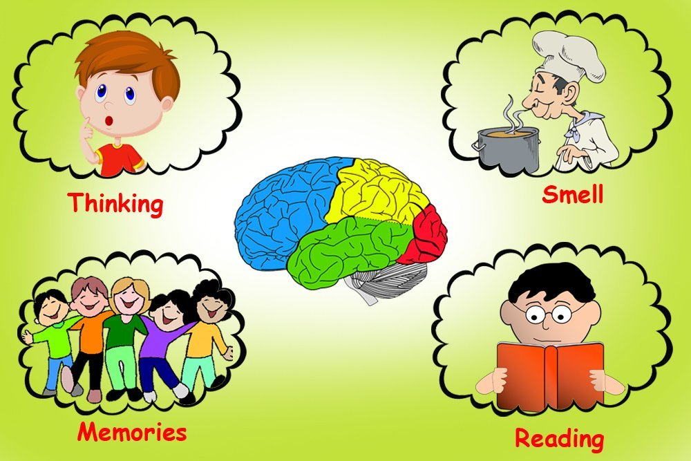 cerebrum definition anatomy and function science abc