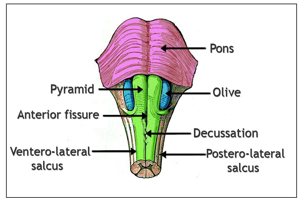 Medulla Oblongata: Definition, Structure And Functions