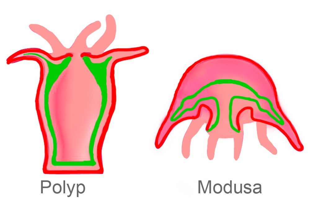 modusa and polyp