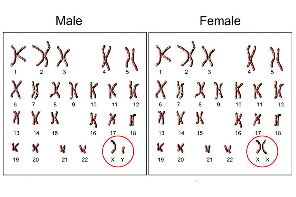 Why Do Males Have An X Chromosome